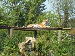 Ein Tiger genießt die Sonne